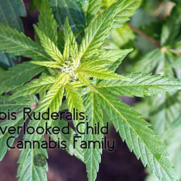 Cannabis Ruderalis: The Overlooked Child of the Cannabis Family