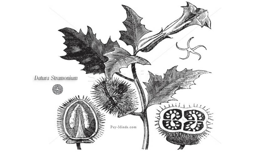 Datura Stramonium Medicinal Uses, Side Effects and Benefits 1