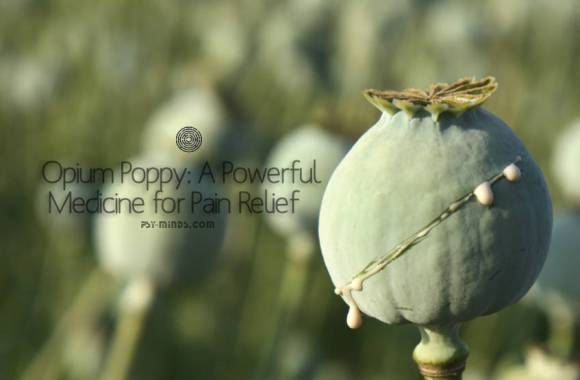 Opium Poppy: A Powerful Medicine for Pain Relief