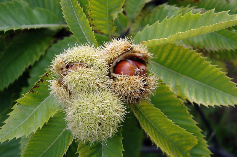 Chestnut healing plants