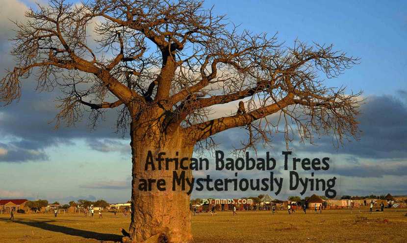 African Baobab Trees are Mysteriously Dying