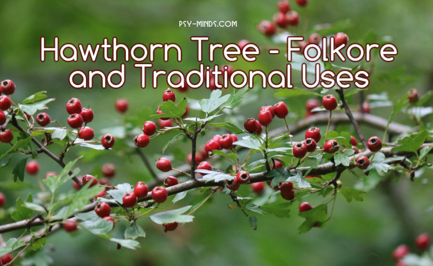 Hawthorn Tree - Folkore and Traditional Uses