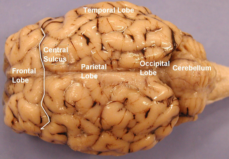 sheep brain superior view diagram 2002 trailblazer radio wiring dorsal of car interior design