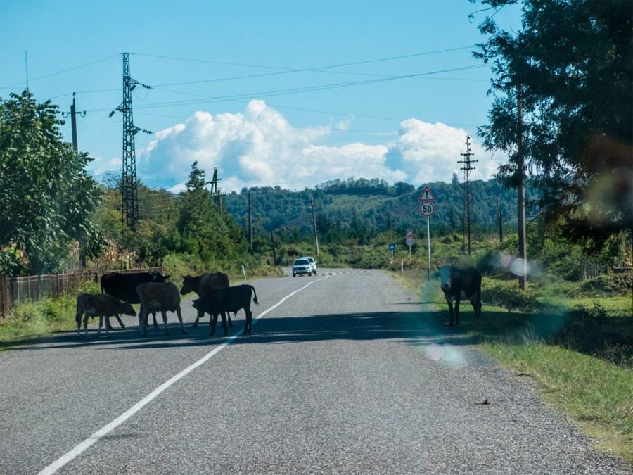 Krowy na szosie - widok normalny