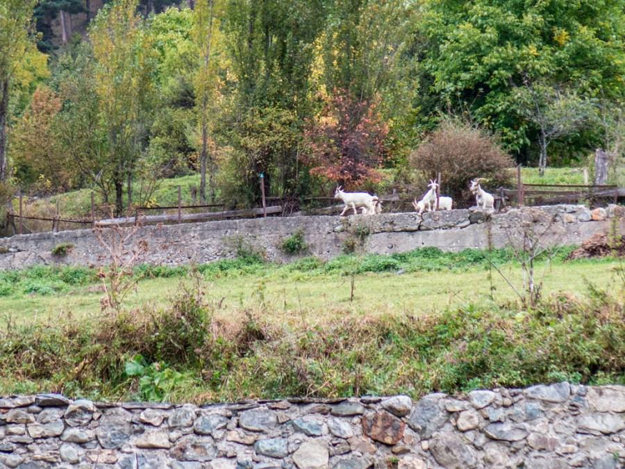 Kozy zbiegły z gór