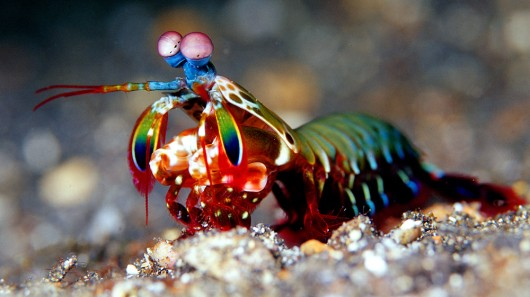 Mantis Shrimp have the most complex eyes in the animal kingdom, among other unusual attributes.