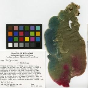 dictyonema huaorani psychedelic lichen