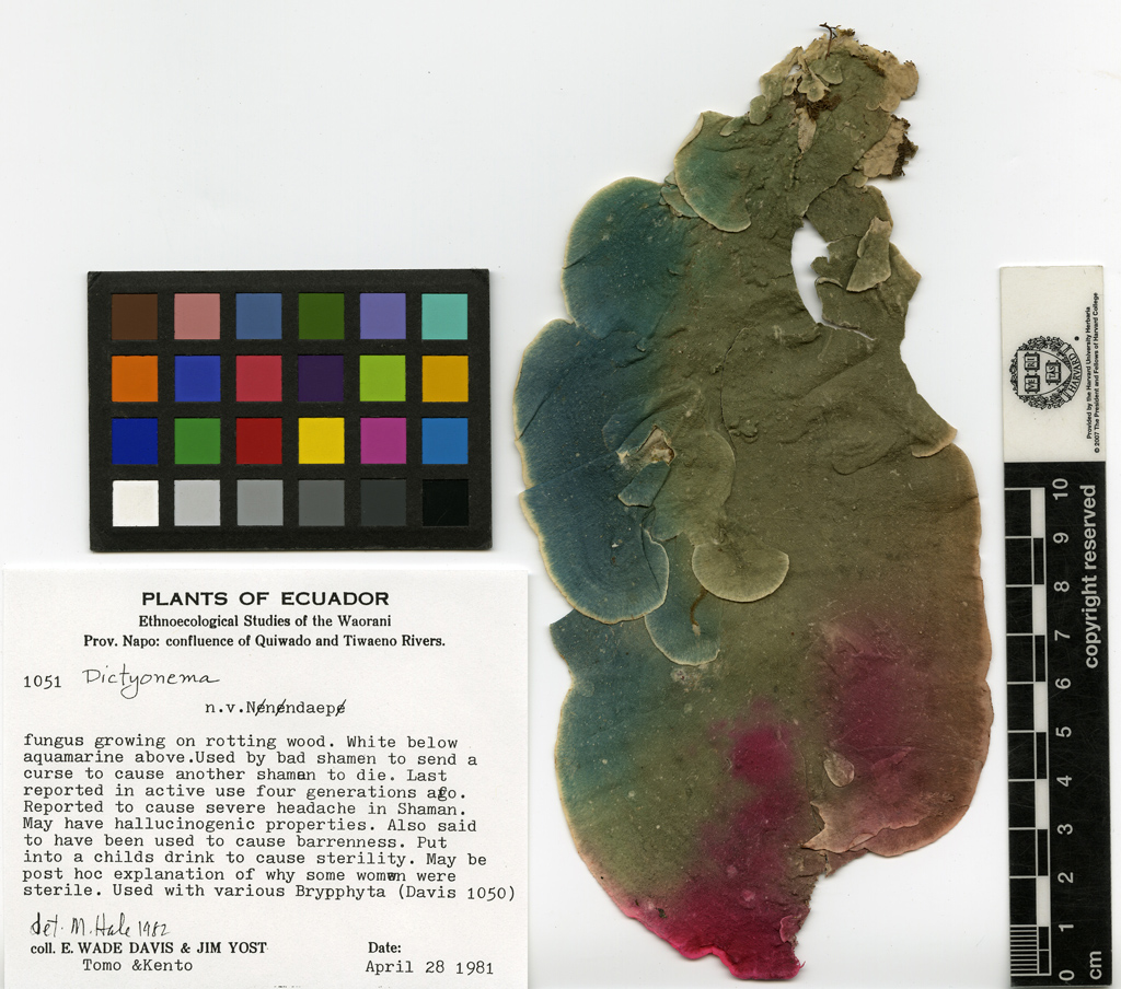 dictyonema huaorani, psychedelic lichen