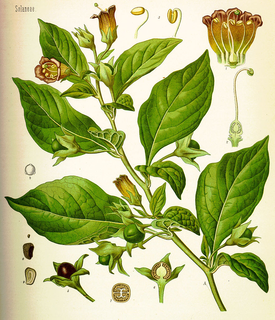 Illustration of Deadly Nightshade, Atropa belladonna, from an 1887 text