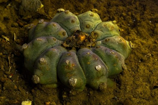 Lophophora williamsii  - Peyote