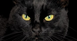 Facts About Black Cats