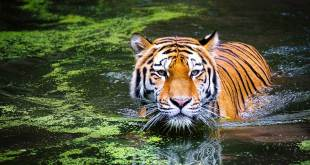 Symbolism of Tigers in Spirituality