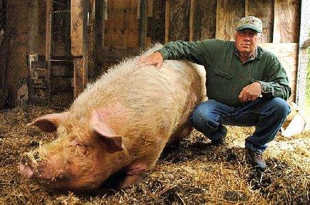 Pig Bomb Big Norm