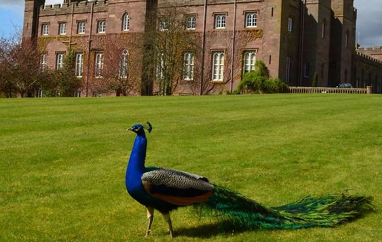 Peacock at Palace