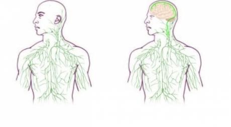 Des vaisseaux lymphatiques inconnus découverts dans le cerveau 2