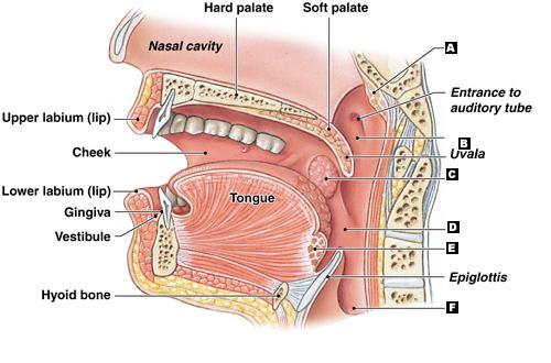 Cavité buccale, anatomie de la bouche, la langue, la mâchoire, le pharynx