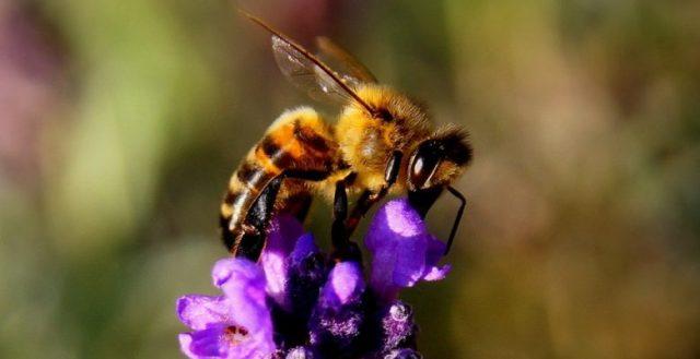Miel de lavande : Caractéritiques et provenance 2