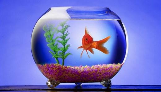 【夢占い】金魚が暗示する重要な意味