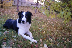 Border Collie ENTJ