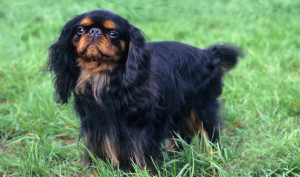 English Toy Spaniel INFP