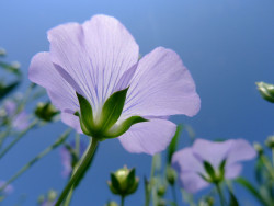 CBD-like compounds were recently discovered in flax seeds (© xia.aike) - Sensi Seeds Blog