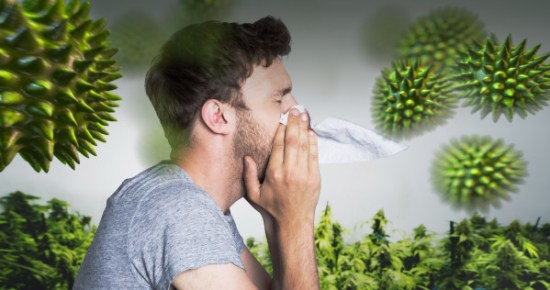 Cannabis_allergy_WIDE