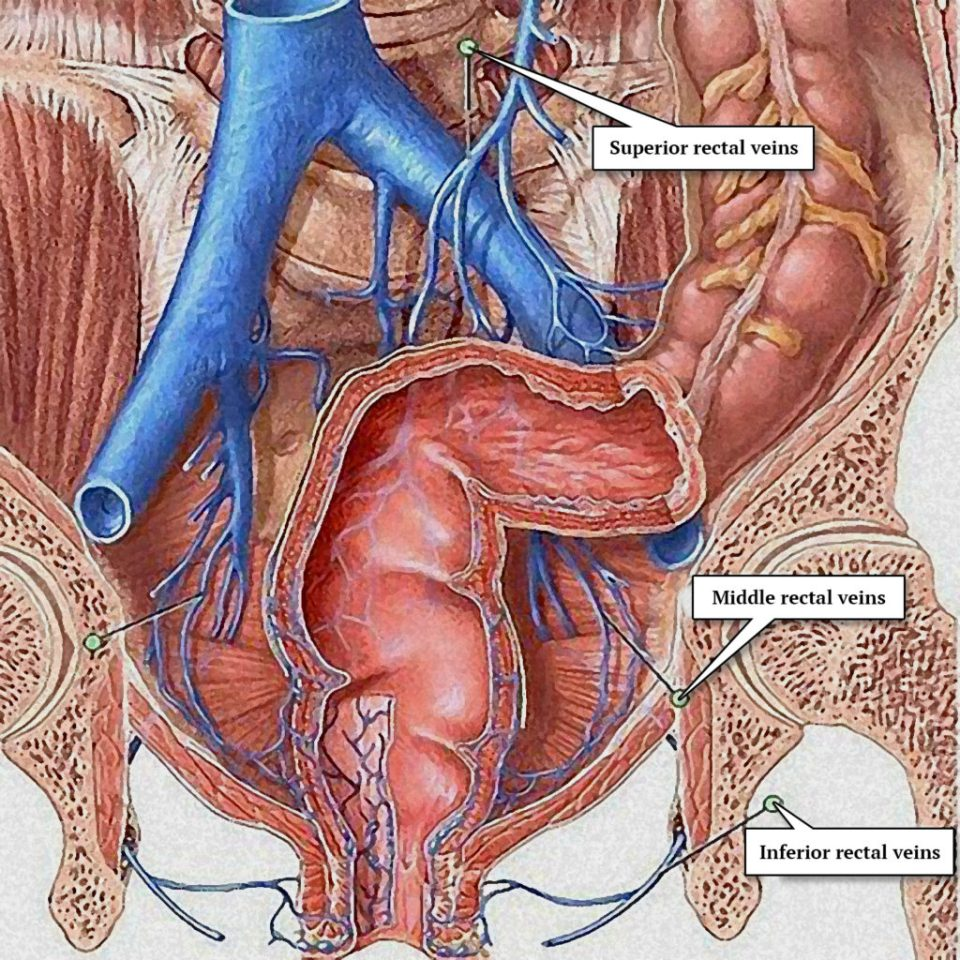 The rectal veins – superior, middle and inferior