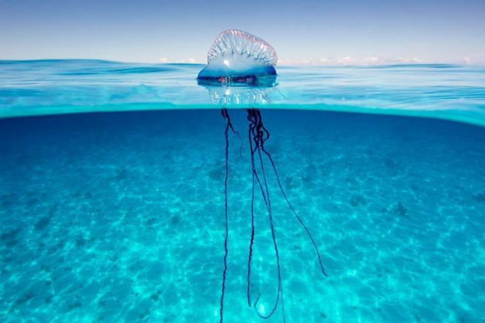 man o war jellyfish