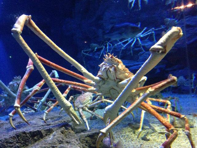 caranguejo-japonês-gigante, um dos animais mais estranhos do mundo