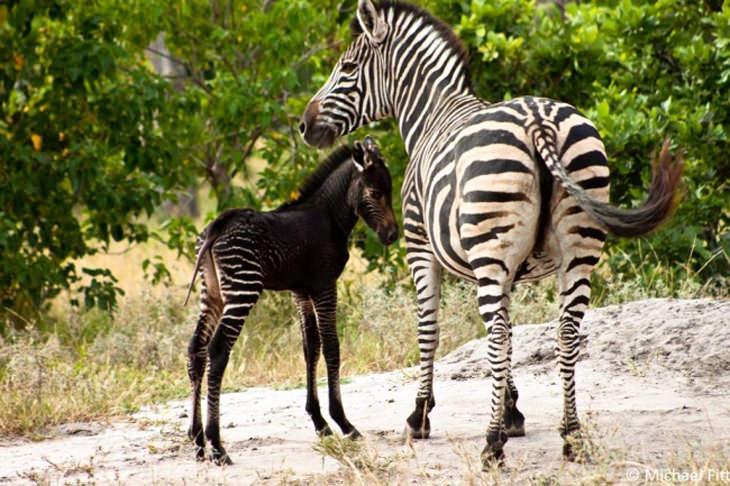 15 belos animais melanísticos