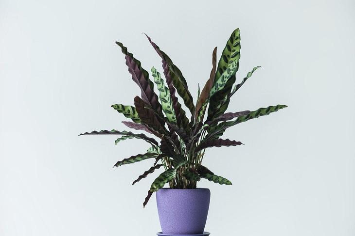 planta assassinas