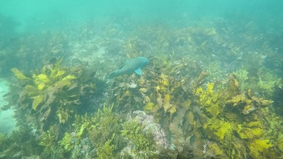 Blue grouper - Manly to Shelly Swim