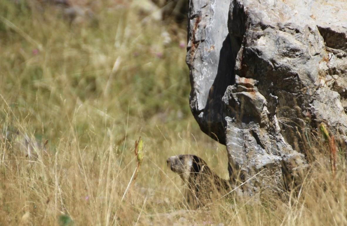 Świstaki żyją w norkach, które często kopią w otoczeniu skał.