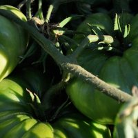 Luchando en ecológico contra la polilla del tomate (Tuta absoluta) y otros dolores