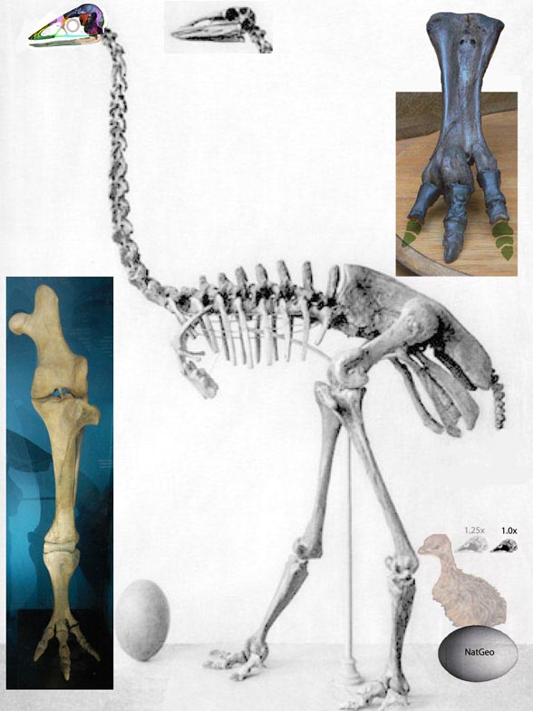 ostrich skeleton diagram sv650 uk wiring old data from 1896 nests the elephant bird aepyornis with figure 1 maximus along eggs largest known new skull
