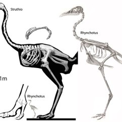 Ostrich Skeleton Diagram Wiring Sony Xplod The Origin Of Giant Birds Struthio A Tinamou Skeletons And Rhynchotus