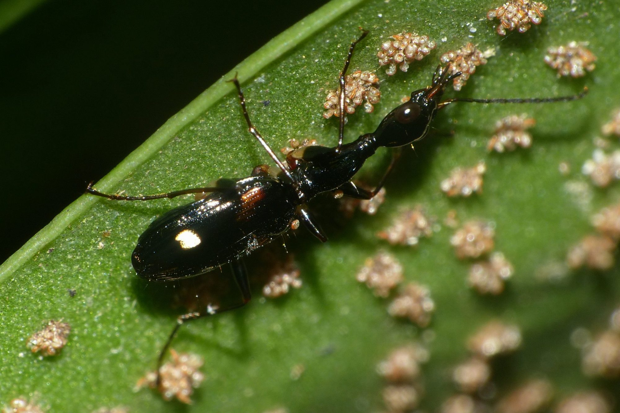 hight resolution of fern spore feeding carabid image by blackdog to chan