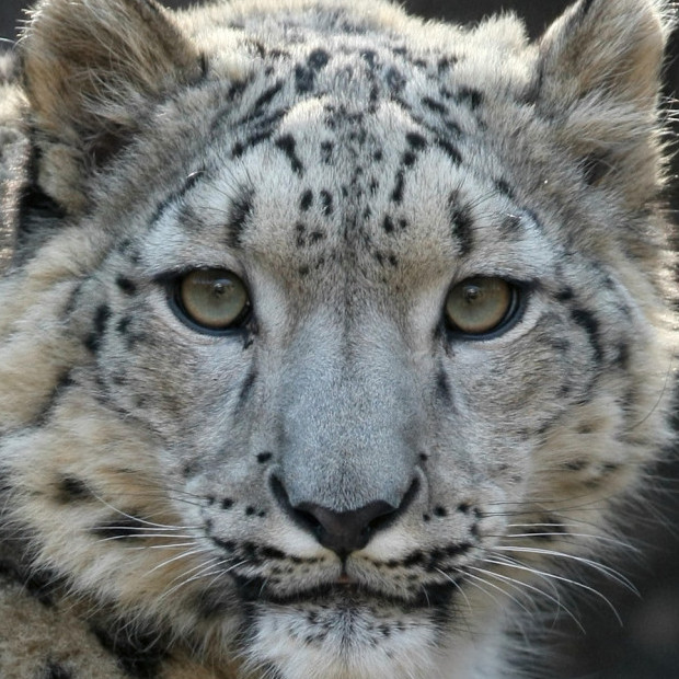 Cute Stitch On Side Wallpaper Mongolia To Create New Protected Area For Snow Leopards