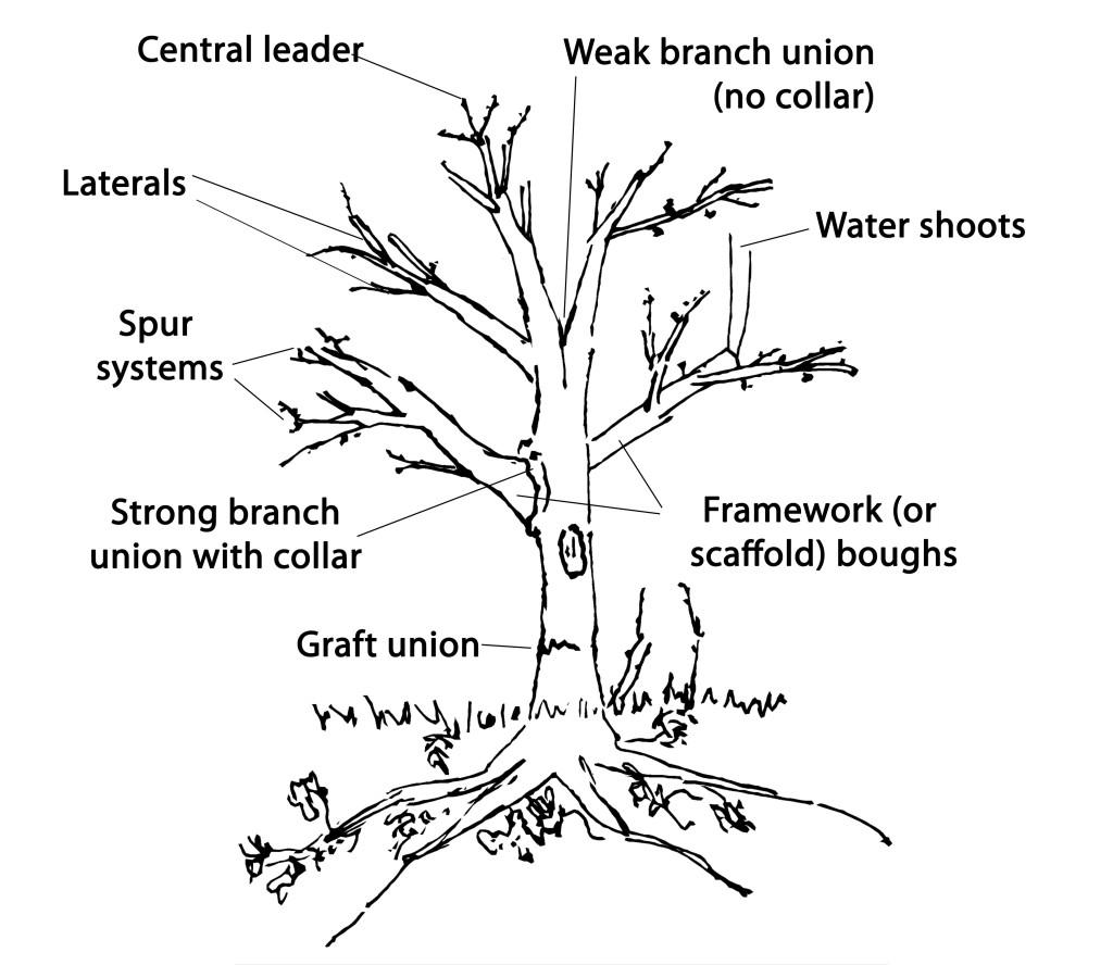 apple tree pruning diagram