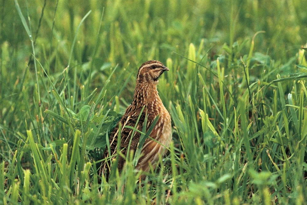 The initiative to fight Common Quail poaching