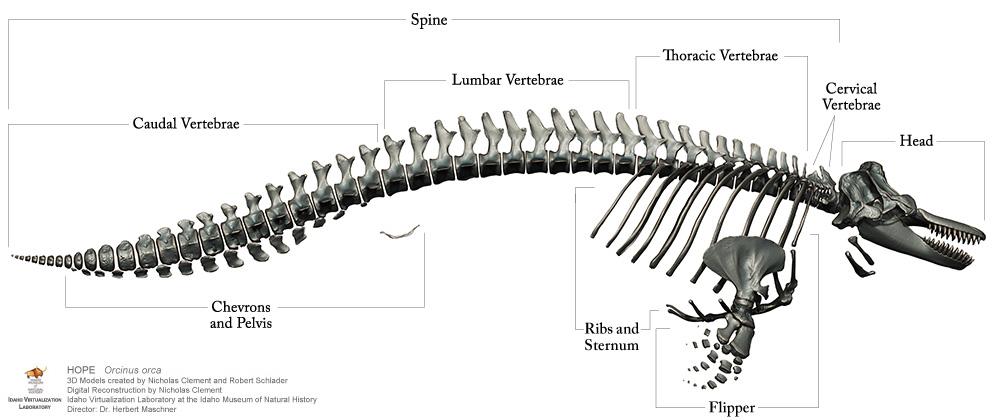 Port Townsend Marine Science Center :: Orca Bone Atlas