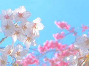 【商用・改変・無料利用可】2018年3月27日 - 2017年4月に撮影の桜・八重桜の花
