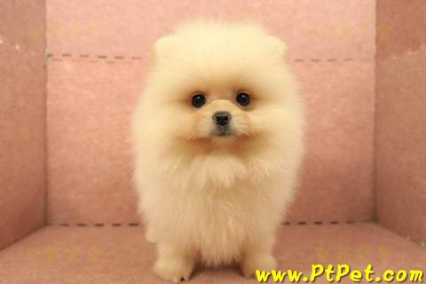 松鼠博美,博美犬 Pomeranian,哈多利系博美犬-日新犬舍-狗狗寫真