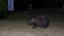 erstes Wombat