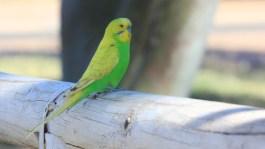 keine grüne Taube