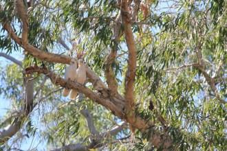 Kakadus immer zu Zweit