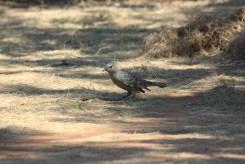 Laubenvogel