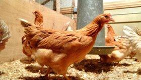 Chickens Might Lay Your Future Prescriptions image