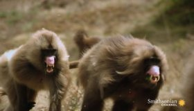 Two Gelada Brothers Viciously Fight for Breeding Rights image