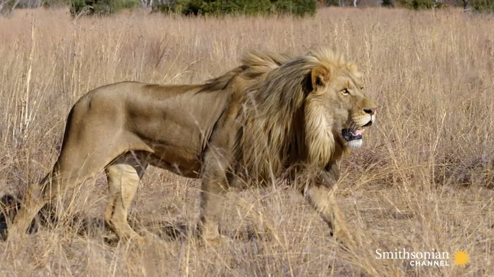 How Lions Choose Their Prey  Smithsonian